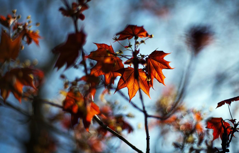 Photo wallpaper autumn, leaves, macro, nature, branch, blur, maple, bokeh