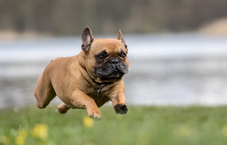 Photo wallpaper dog, running, flying french bulldog