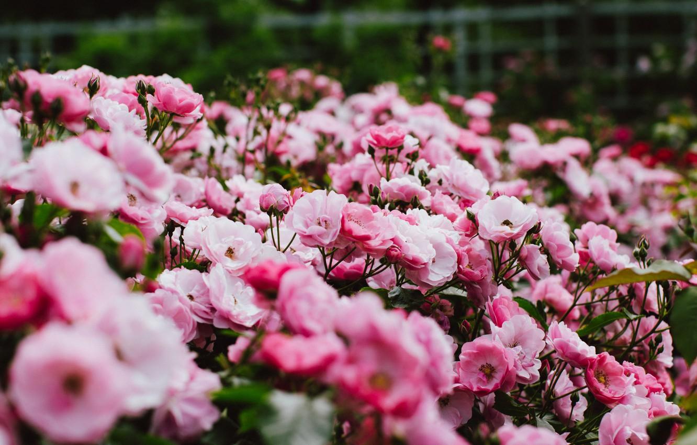 Photo wallpaper flowers, Bush, pink