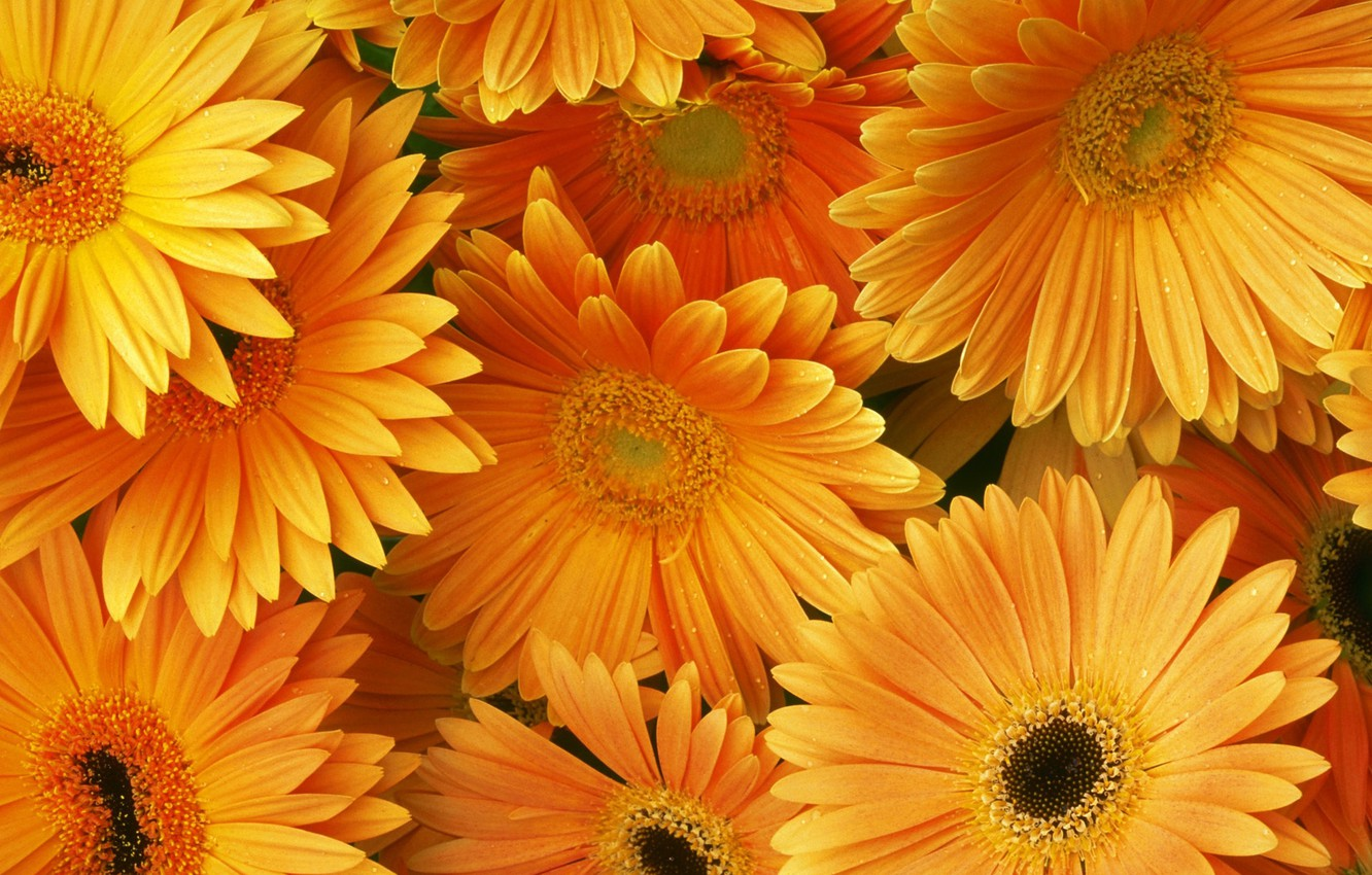 Photo wallpaper orange, bouquet, gerbera