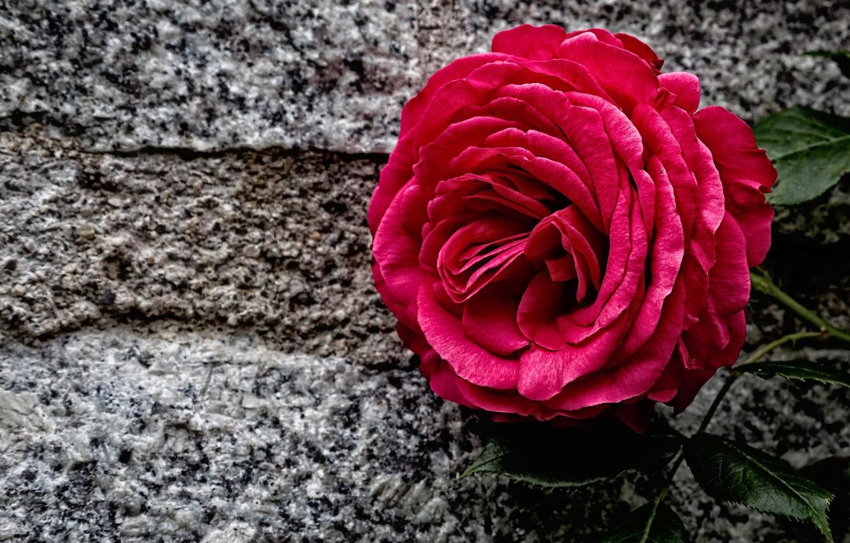 Photo wallpaper stone, rose, Bud