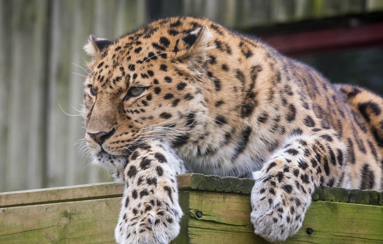 Photo wallpaper face, stay, predator, paws, wild cat, the Amur leopard