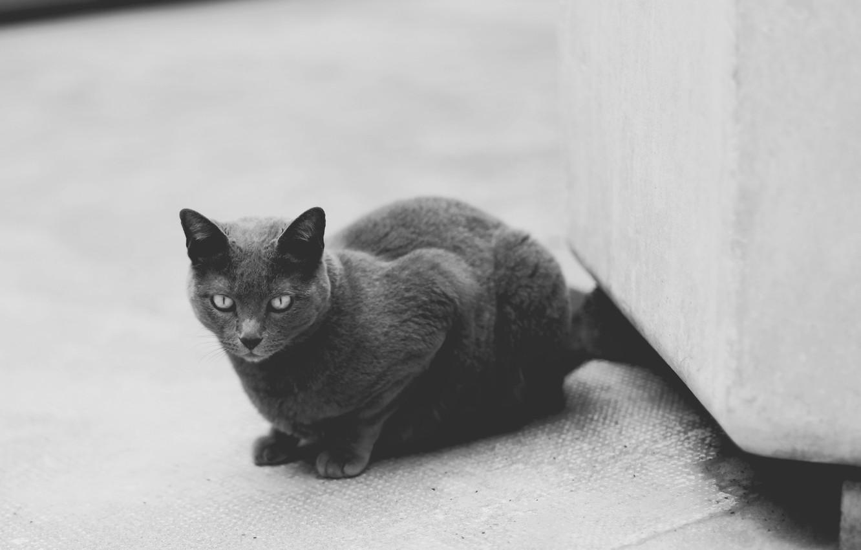 Photo wallpaper cat, cat, grey, black and white