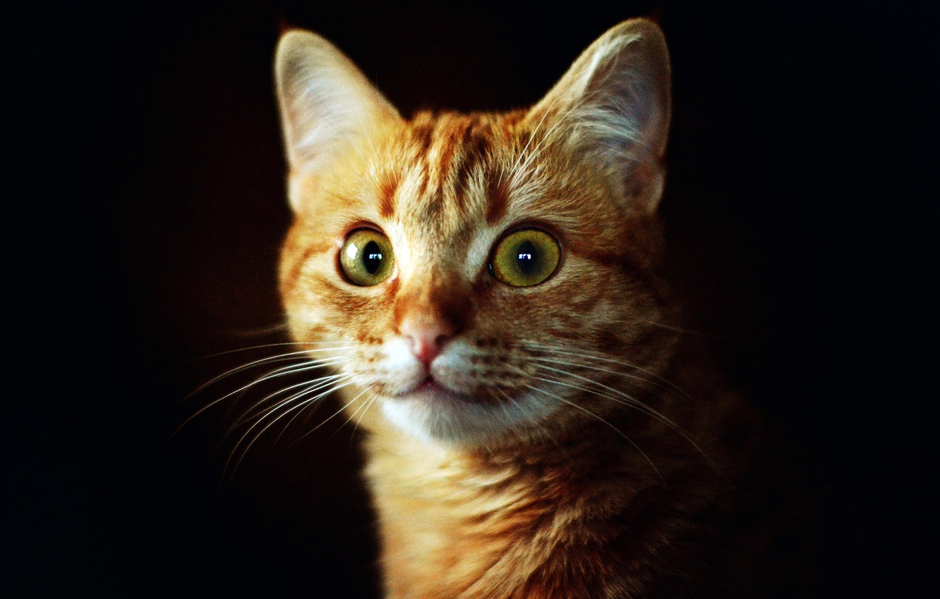 Photo wallpaper cat, eyes, cat, look, face, background, dark, red, green