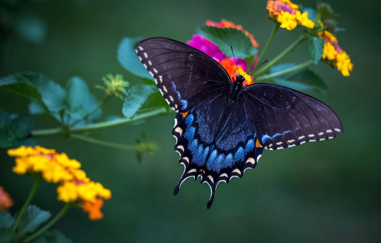Photo wallpaper butterfly, wings, beauty, Lantana