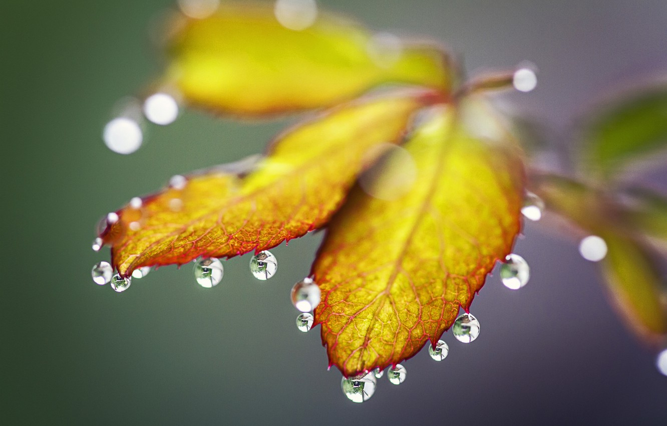 Photo wallpaper autumn, leaves, water, drops, Rosa