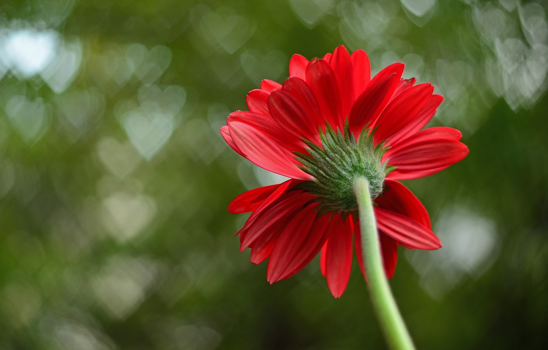 Photo wallpaper flower, macro, red, background, petals, hearts, macro