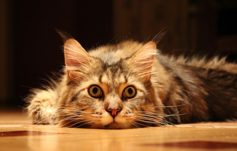 Photo wallpaper cat, look, floor