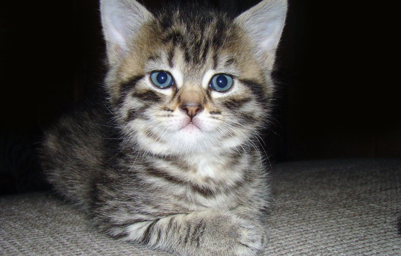 Photo wallpaper eyes, cat, mustache, look, cat, fluffy, small, muzzle, ears, kitty, serious, soft