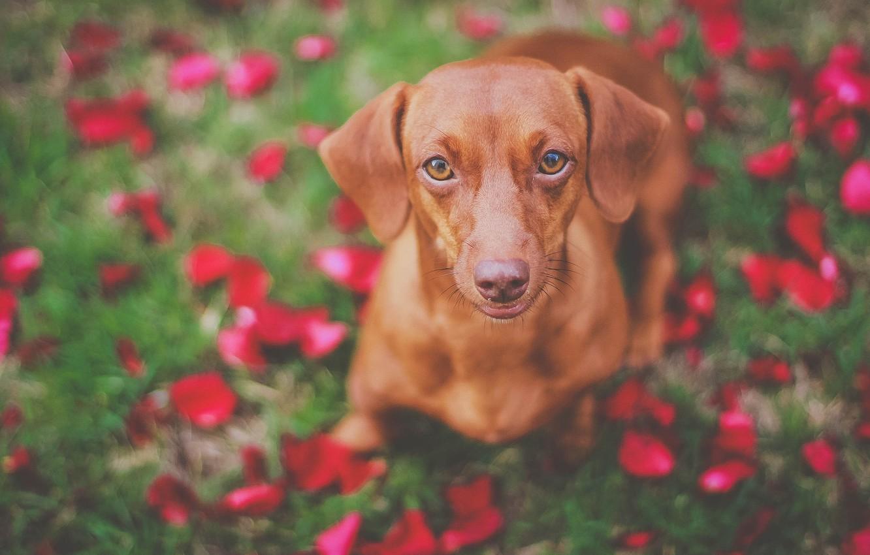 Photo wallpaper look, face, dog, Dachshund, bokeh
