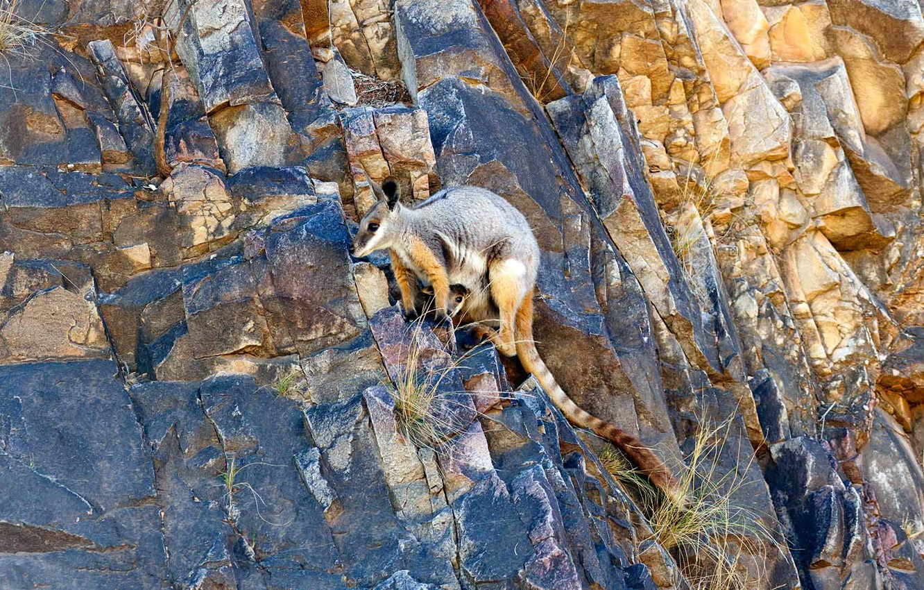 Photo wallpaper rocks, Australia, yellow-footed rock Wallaby, ring-tailed kangaroo