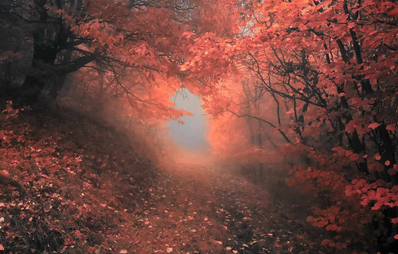 Photo wallpaper autumn, forest, trees, fog, Nature, forest, falling leaves, grove, path, trees, nature, autumn, leaves, fog, …