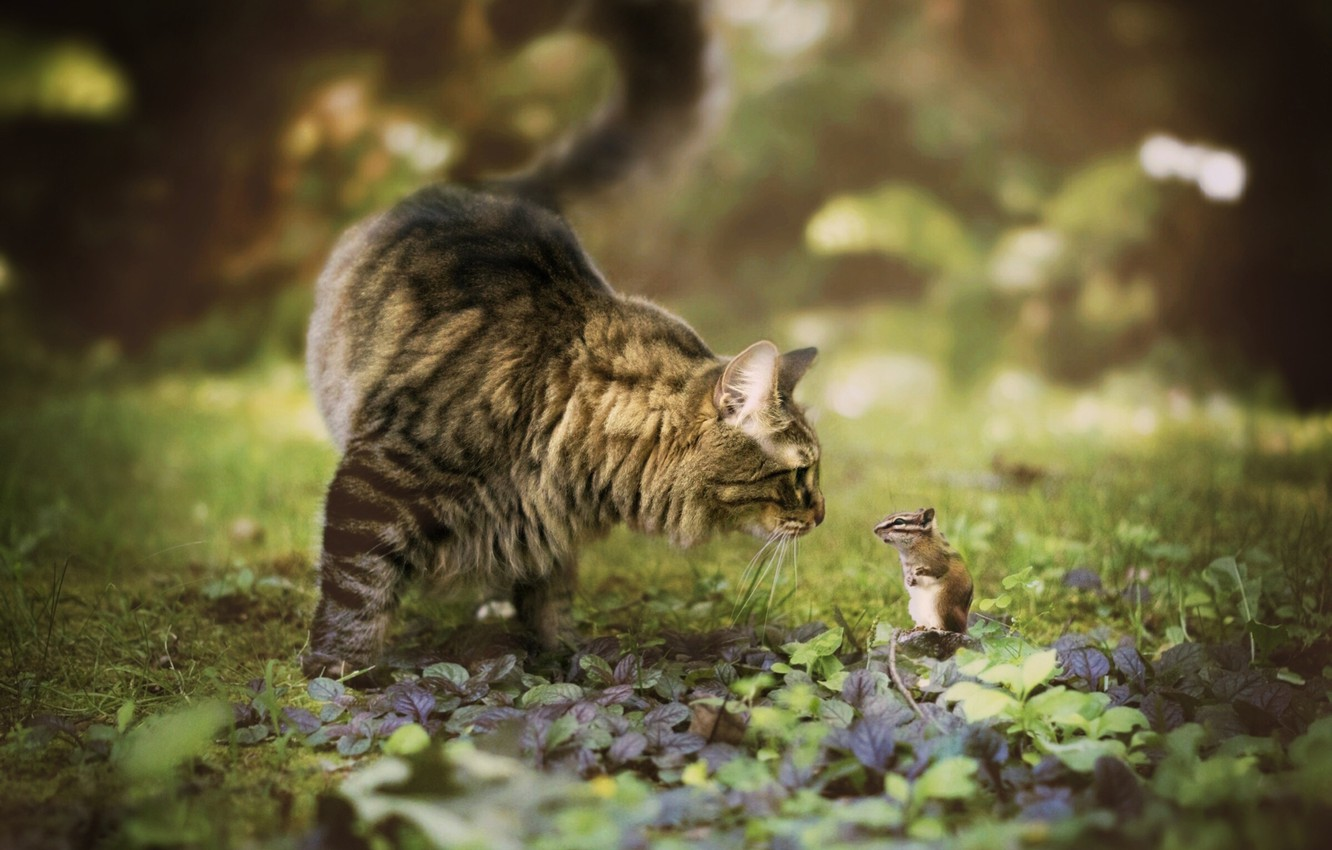 Photo wallpaper cat, meeting, Chipmunk, bokeh, rodent, Maine Coon, familiarity