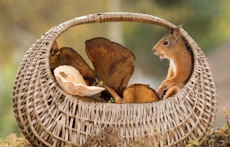 Photo wallpaper animal, basket, mushrooms, protein, rodent