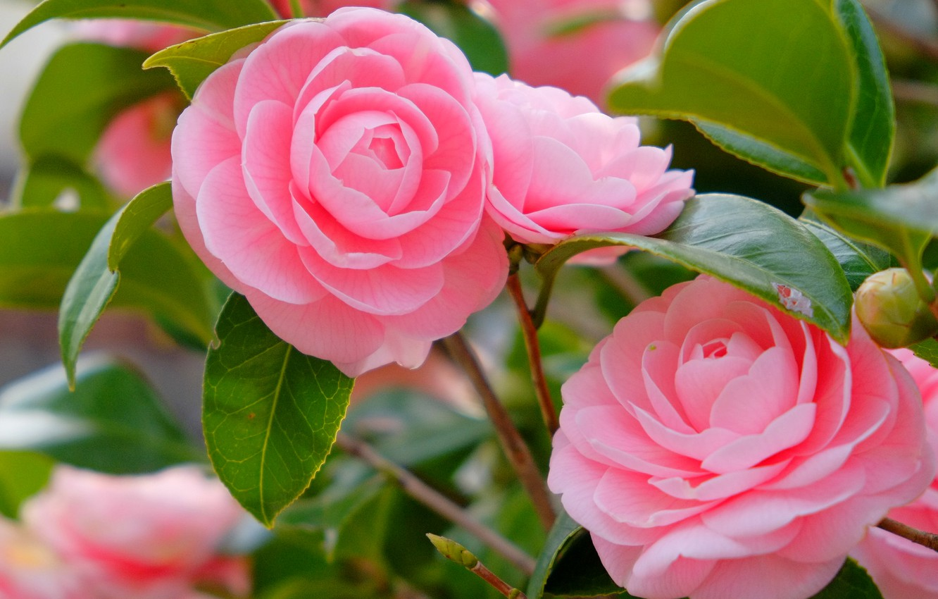 Photo wallpaper pink, petals, Camellia