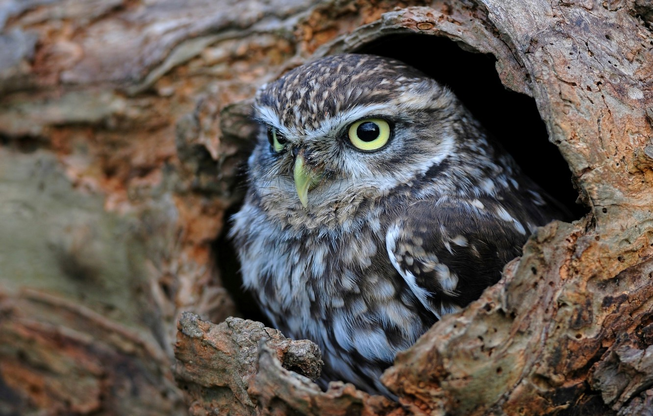 Photo wallpaper owl, the hollow, the little owl