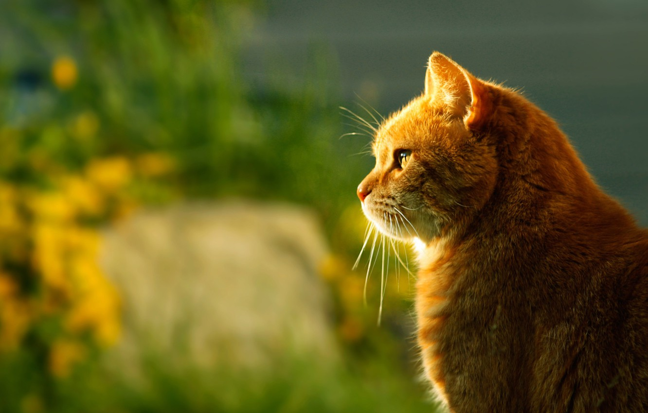 Photo wallpaper cat, light, blur, red, profile, sitting