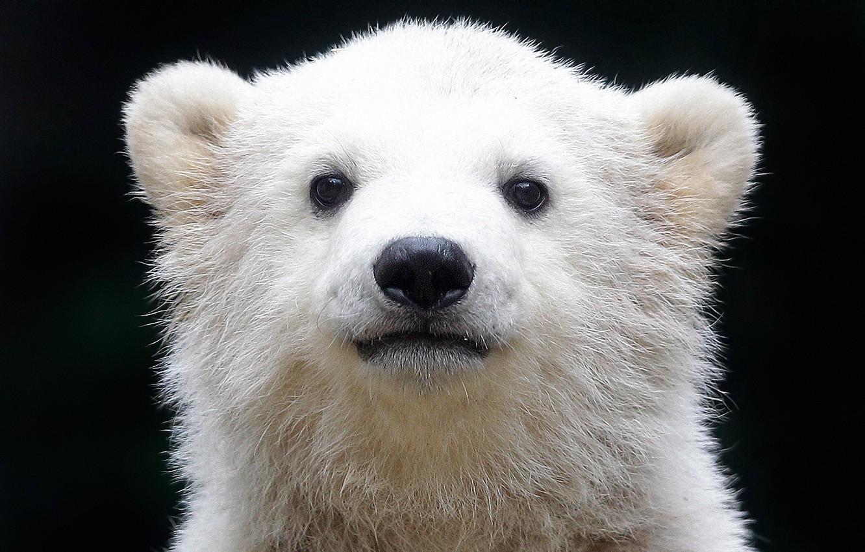 Photo wallpaper polar bear, polar bear, Ursus maritimus, oskoui, sea bear, Northern bear