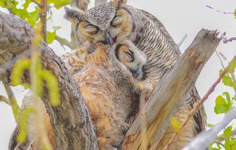 Photo wallpaper birds, branches, owls, chick, a mother's love, Virgin Filin