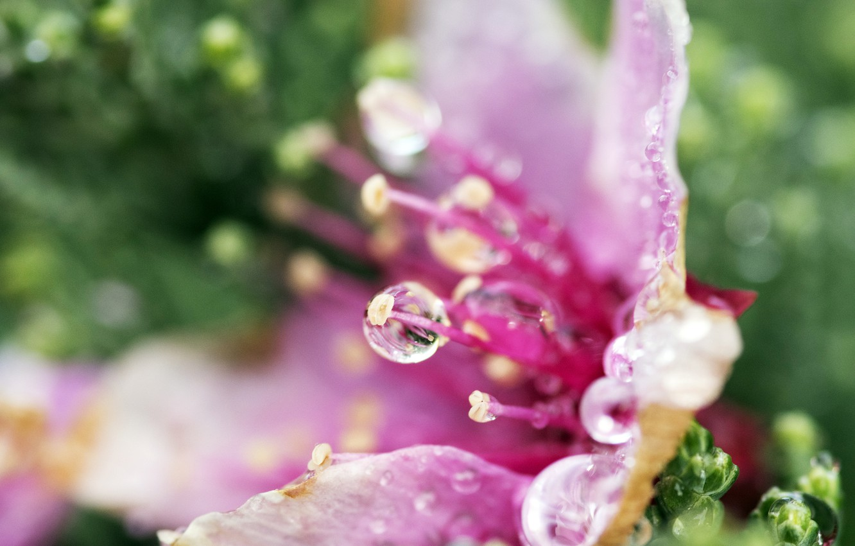 Photo wallpaper flower, water, macro, Rosa, petals