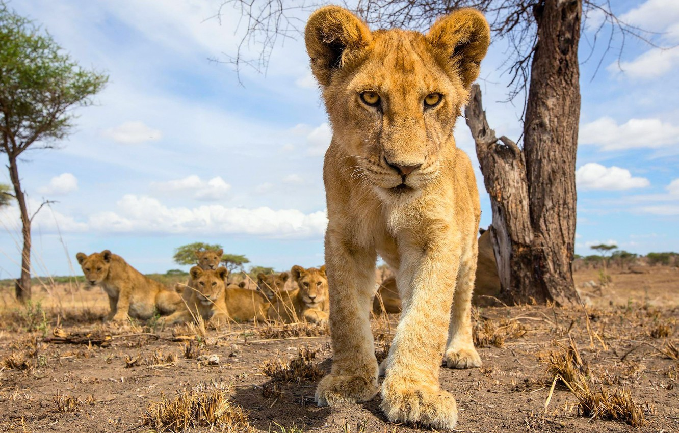 Photo wallpaper pack, small, the cubs, lion, pride