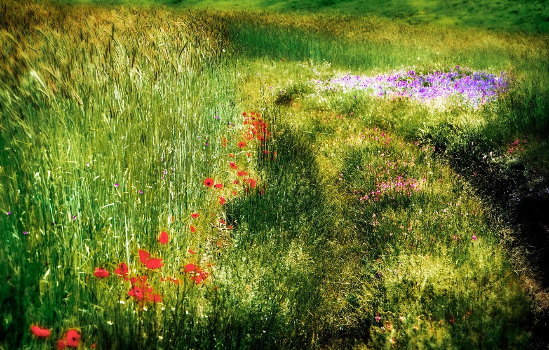 Photo wallpaper field, summer, nature