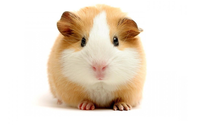 Photo wallpaper white, hamster, Guinea pig, brown, Funny