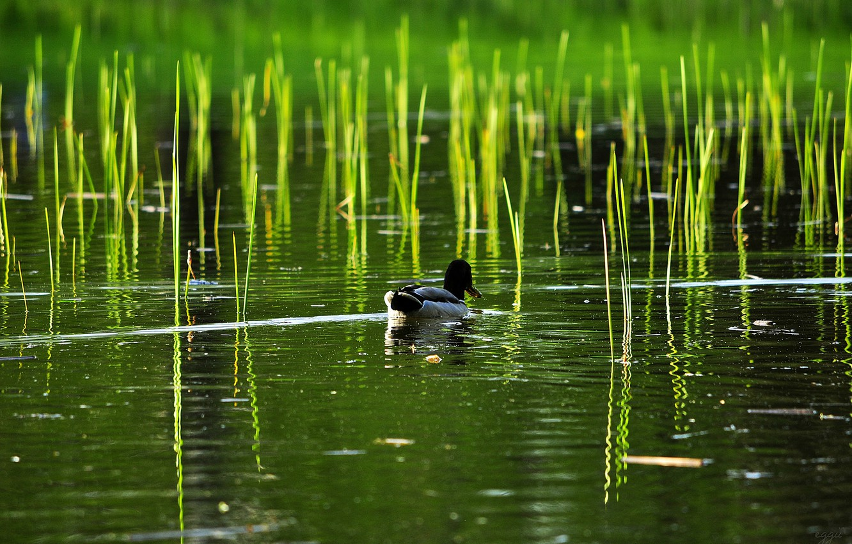 Photo wallpaper lake, pond, reed, duck