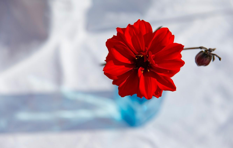Photo wallpaper flower, background, Red Dahlia