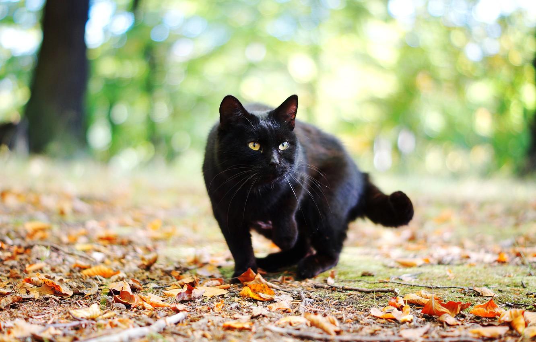 Photo wallpaper autumn, cat, cat, leaves, black
