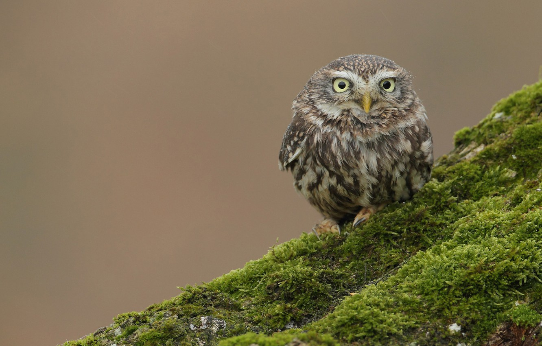 Photo wallpaper owl, bird, moss, hill, bump