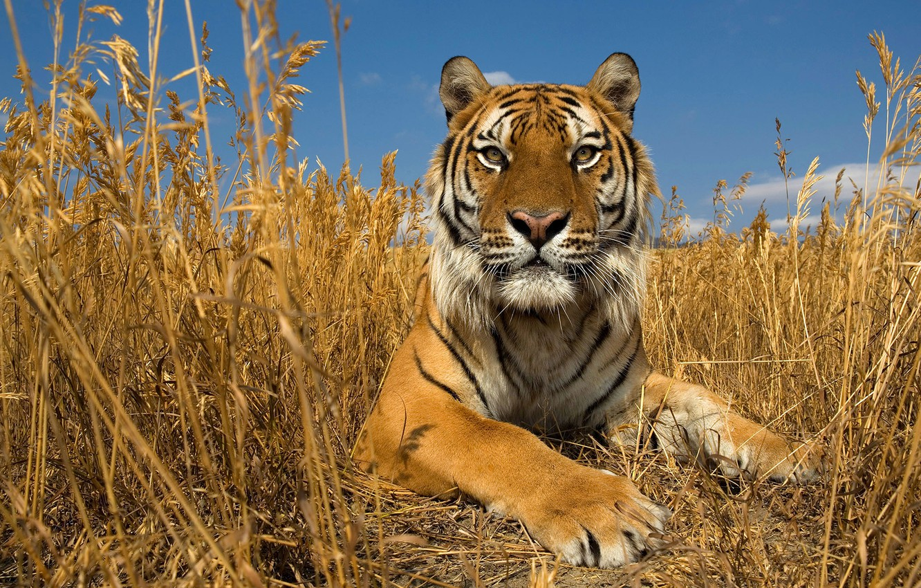 Photo wallpaper autumn, cat, the sky, grass, nature, the steppe, the Amur tiger