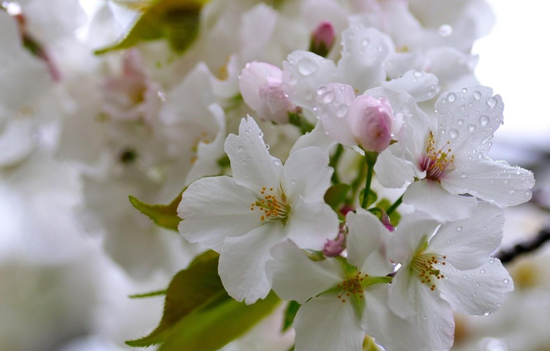 Photo wallpaper drops, macro, cherry, flowering