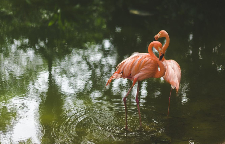 Photo wallpaper water, birds, Flamingo