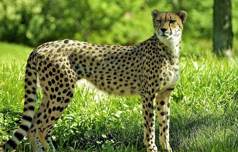 Photo wallpaper forest, grass, glade, Cheetah, cheetah, guepard