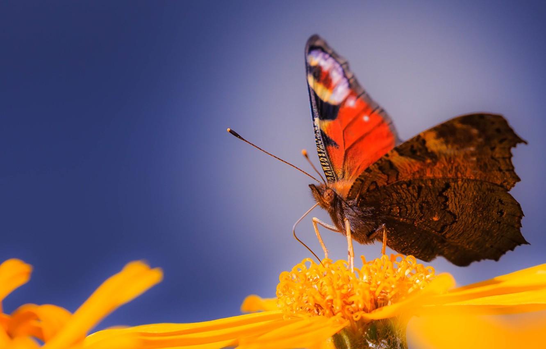 Обои petals, open wings, wings, Butterfly, flower, proboscis, antennae. Макро foto 13