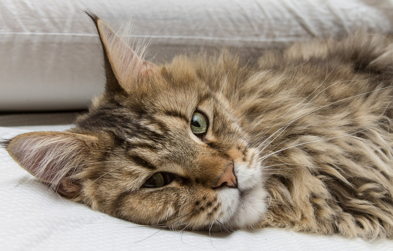 Photo wallpaper cat, cat, look, face, Maine Coon