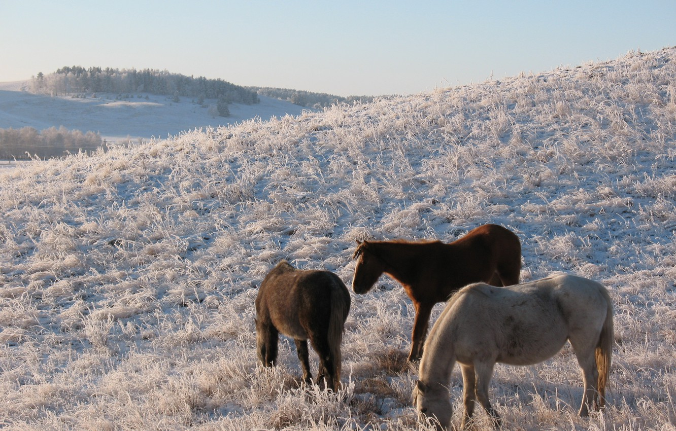 Wallpaper Winter Snow The Steppe Horse Horse Pasture