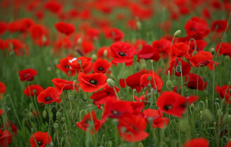 Photo wallpaper field, summer, grass, macro, flowers, heat, stems, Maki, petals, red, green, nature, poppies