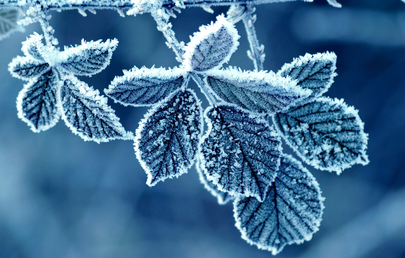 Photo wallpaper winter, frost, leaves, pattern, rose, morning, frost
