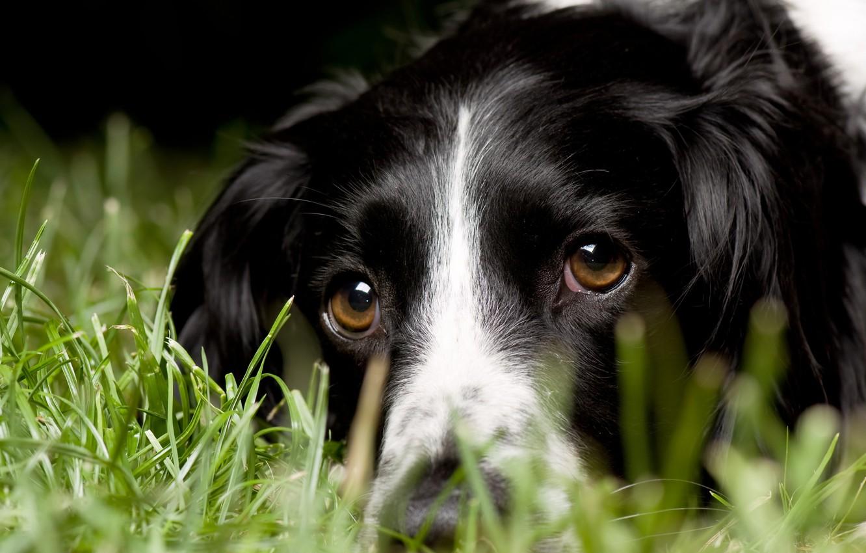 Photo wallpaper grass, look, macro, dog, English Springer Spaniel, English Springer Spaniel