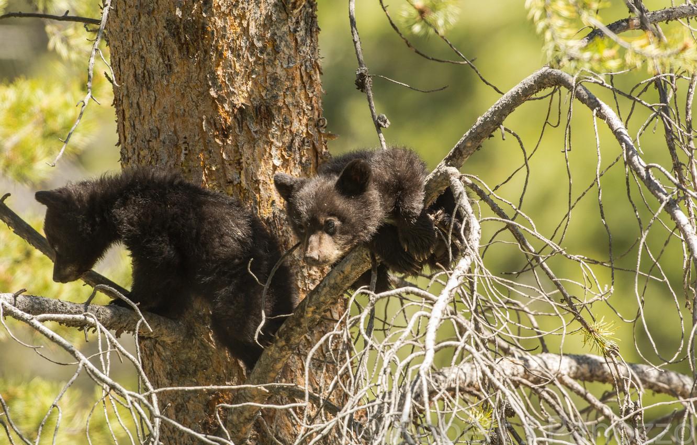 Photo wallpaper tree, bears, a couple, on the tree, baribal