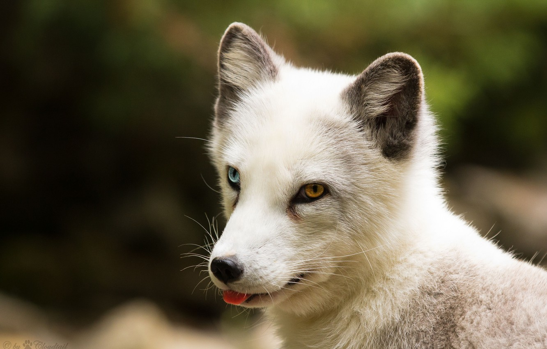 Photo wallpaper language, look, face, Fox, polar Fox