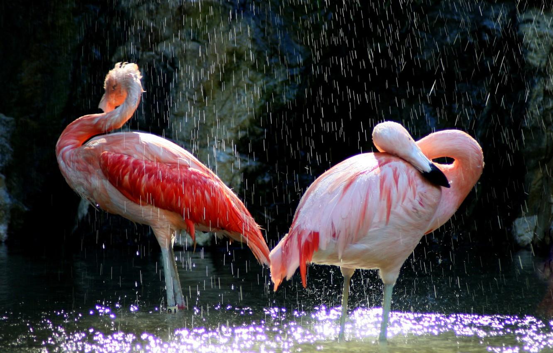 Photo wallpaper water, birds, beak, pink, Flamingo