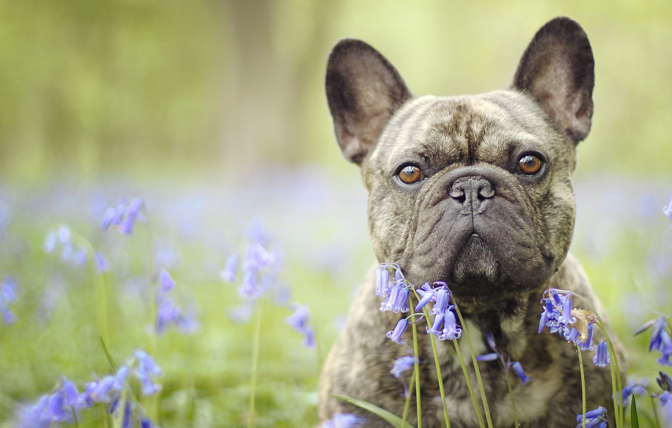 Photo wallpaper look, face, flowers, dog, bulldog, bells, bokeh, French bulldog