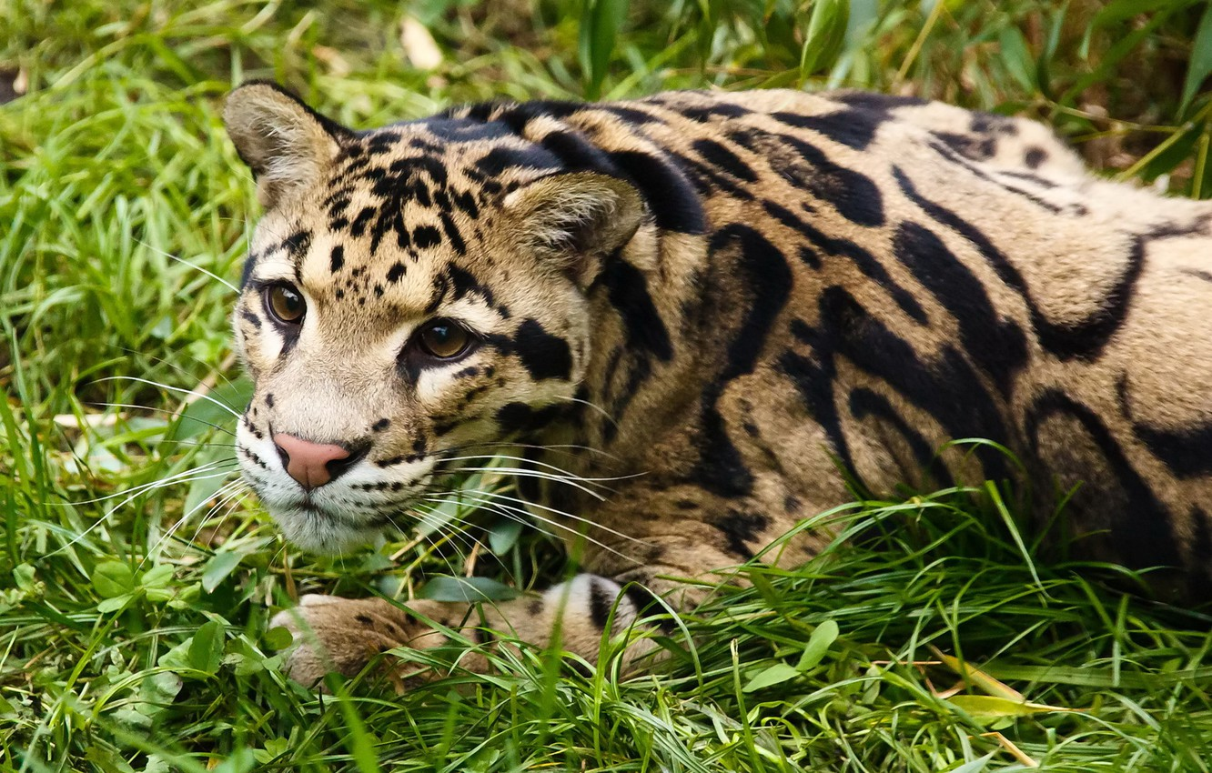 Photo wallpaper grass, look, face, stay, clouded leopard