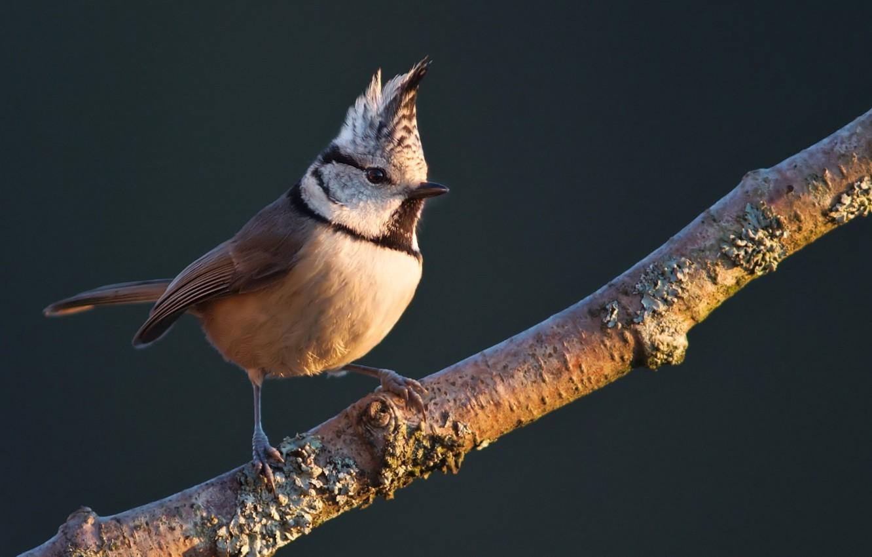 Photo wallpaper bird, on the branch, Crested tit, grenaderka