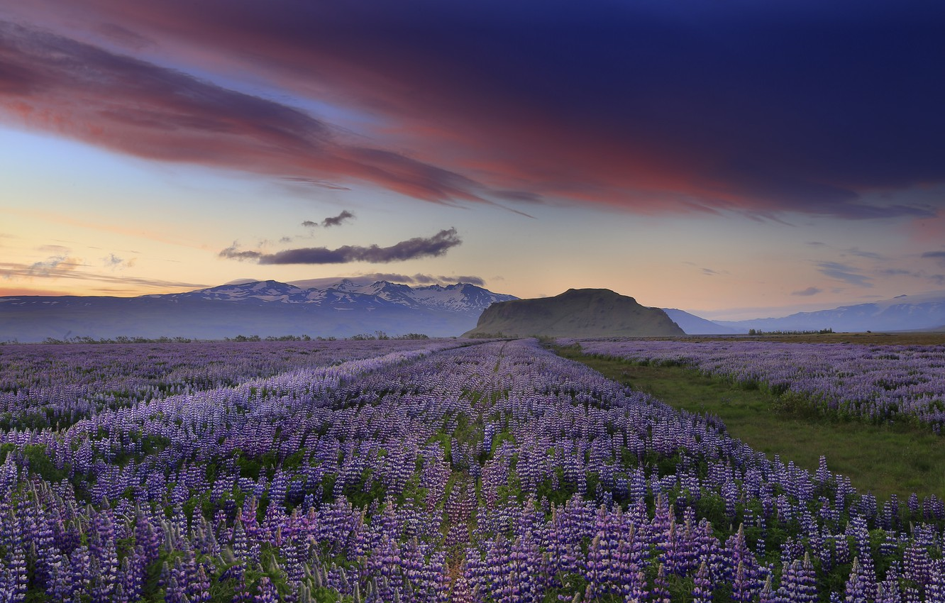 Photo wallpaper the sky, clouds, sunset, flowers, mountains, the evening, Iceland, lilac, lupins