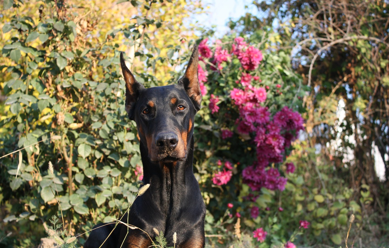 Photo wallpaper dog, flowers, beauty, sunny day, Shelby Cobra iz Zoosfery, doberman, Shelby Cobra of Zoosfery, dogs …
