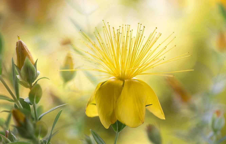 Photo wallpaper nature, petals, stamens, St. John's wort